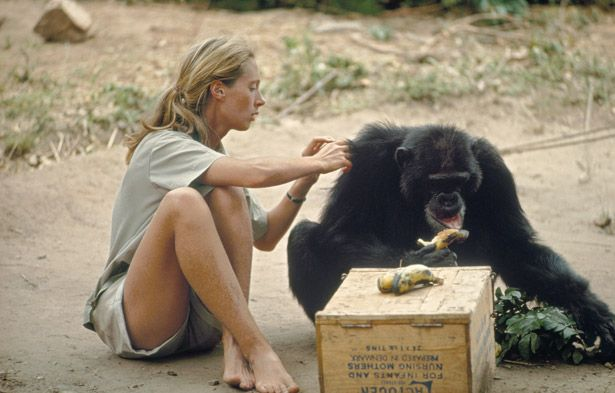 Jane Goodall c. 1960, probably at the Gombe Stream Game Reserve in Tanganyika, the early days