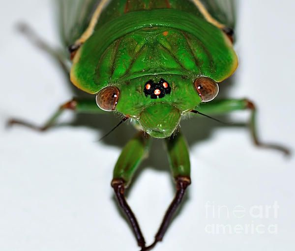 #CICADA #EYES - #Insect #Green #Photograph Quality Prints & Cards at: http://kaye-menner.artistwebsites.com/featured/cicada-eyes-kaye-menner.html  -