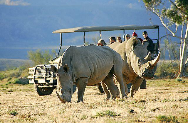 Majestic Rhinos at Inverdoorn Game Reserve