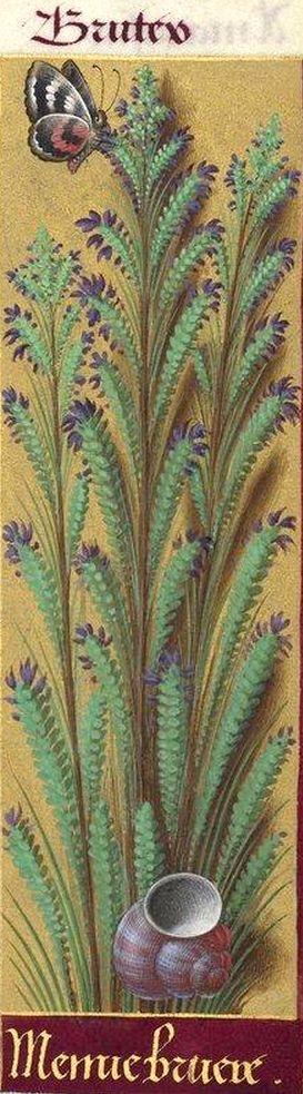 Menue bruere - Brutey (Erica scoparia L. = bruyère à balais) -- Grandes Heures d'Anne de Bretagne, BNF, Ms Latin 9474, 1503-1508, f°220r