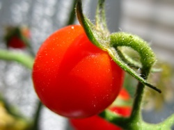 Growing Tomatoes In Containers Successfully