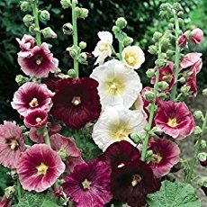 Complete guide on how to successfully grow and care for hollyhock plants in your garden.
