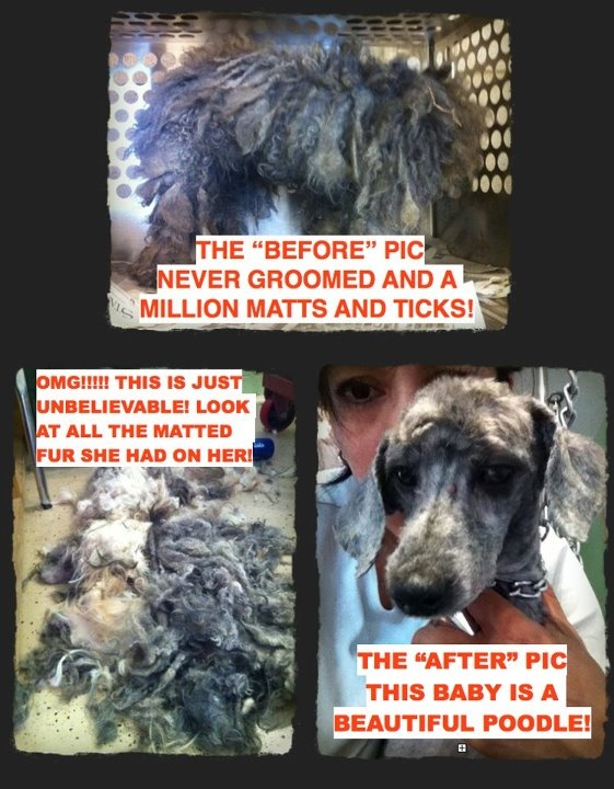 "HERE IS THE ""AFTER"" PIC of that Puppy Mill dog posted this morning!!!! JUST UNBELIEVABLE!!!!! Look at this sweet, adorable baby, who by the way, has never been held in her life!!! 44 Puppy mill dogs were saved by A Place To Bark in Tenn.!!!!Welfare"