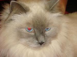 HIMALAYAN PERSIAN CATS: SIAMESE MARKINGS WITH PERSIAN TEMPERAMENT