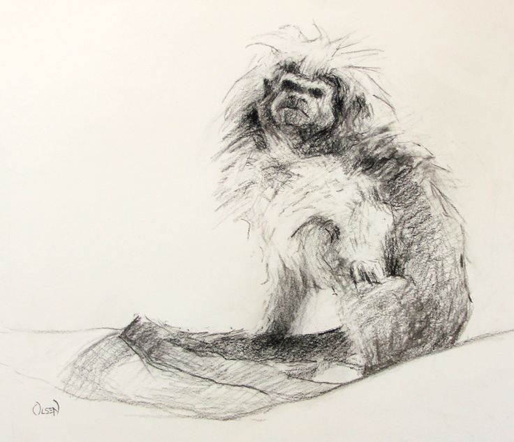 Cottontop tamarin charcoal on ivory toned paper 11 x 14