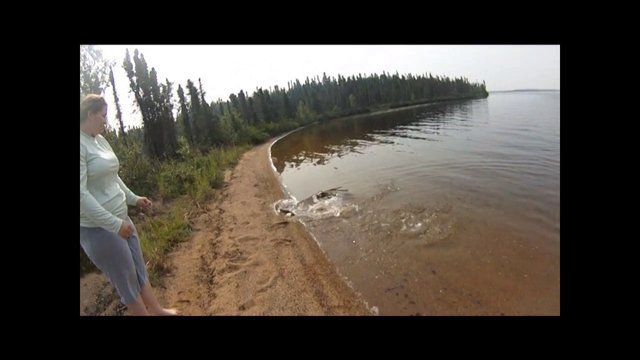 small northern pike leaps on shore to avoid being snatched by a bigger pike