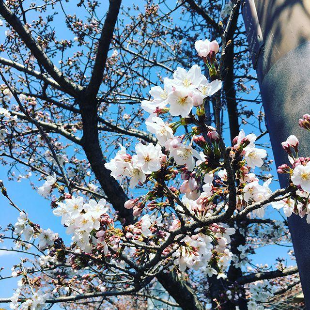 . 嵐山、桜はまだ少しですね〜🌸 . でもお天気良くて気持ち良かった〜☀️ . . お昼はやっぱり肉〜🍖 . 洛ざんで牛ロース定食😋 . それから先日手づくり市で見つけたお菓子屋さんに行ってレモンケーキとクッキー💕 . めーっちゃ酸っぱくてクセになる味🍋 . 妹も大絶賛✨ . 5月までの期間限定らしいからまた買いに行こーっと🚗💨 . . . #嵐山 #お花見 #桜 お昼 #昼ご飯 #ランチ #肉 #ロース#洛ざん#京都 #lunch #クッキー #cookie #レモンケーキ #food #yummy #yum #foodstagram #foodie #foodlovers #foodpic #instafood #tasty #delicious #eat