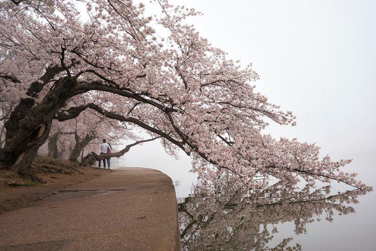 Cherry Blossoms in Washington DC - abpan