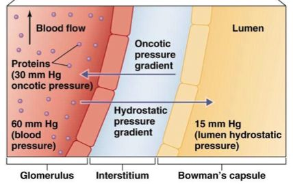 hydrostatic pressure and oncotic pressure - بحث Google