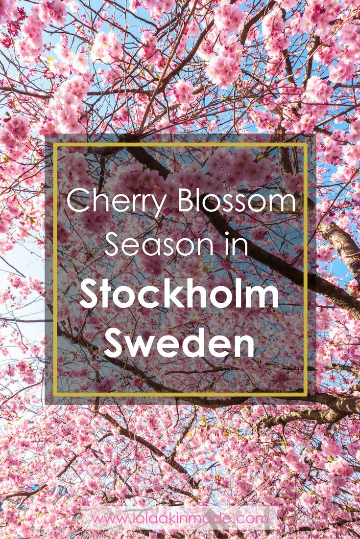 Practical tips for visiting Stockholm during cherry blossom season: when to visit, where to view them, and photos to inspire your next trip to Sweden! | Geotraveler's Niche Travel Blog