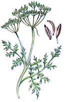 Caraway - spice description, health benefits, cooking tips and recipes using caraway seeds