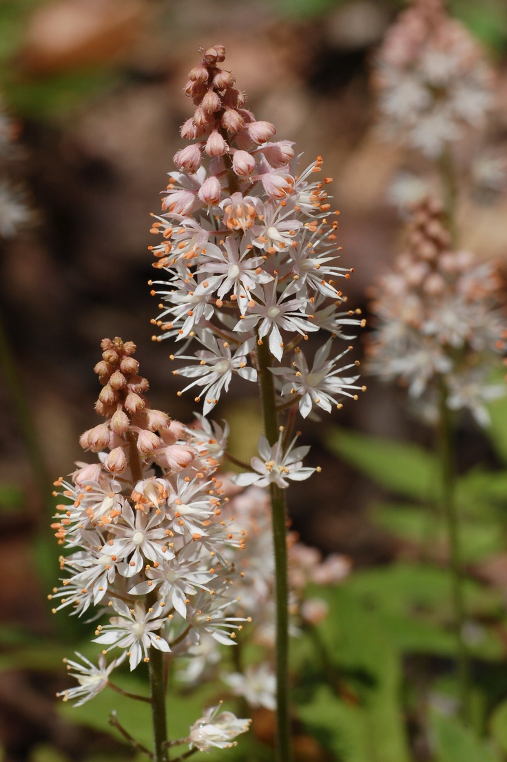 Tiarella cordifolia a way to garden - Foamflower The Foamflowers Tiarella Are A Popular Species Of Wildflower And Garden Plant They Belong To The Saxifrage Family Saxifragaceae
