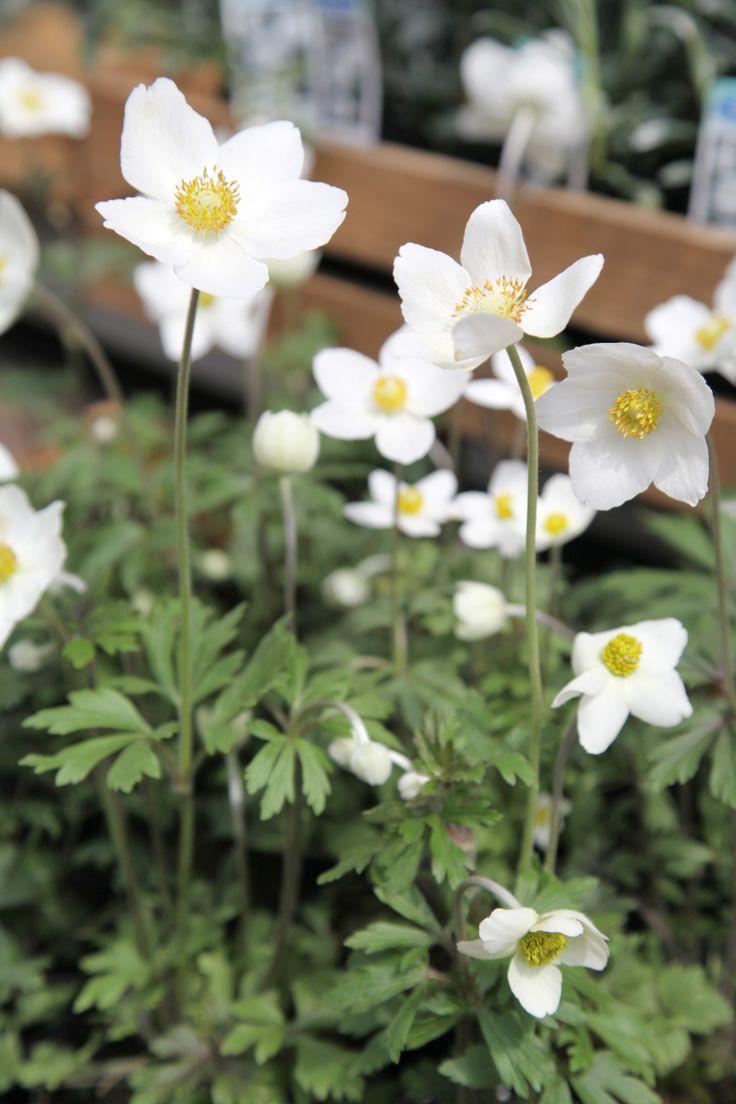 アネモネ シルベストリス Anemone sylvestris 常緑多年草 / 開花期:3〜5月