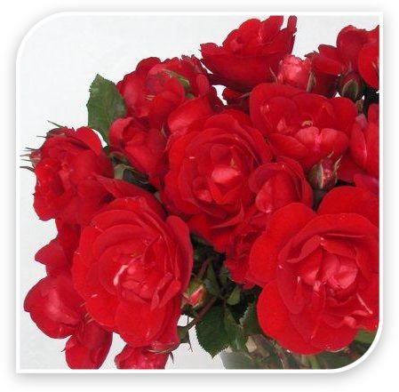 Delbard French Roses - Centenaire de Lourdes Rouge
