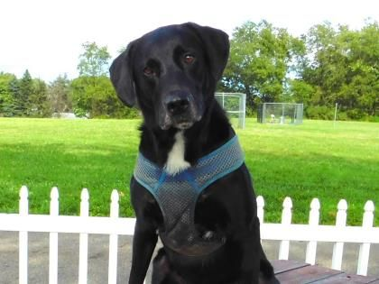 Motley - URGENT - Stark County Humane Society in Louisville, Ohio - ADOPT OR FOSTER - 3 year old Neutered Male Lab Retriever Mix