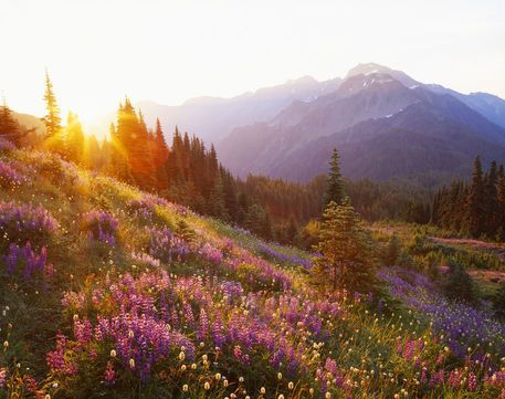 Field of lupine and Olympic Mountains at sunrise, Olympic National Park