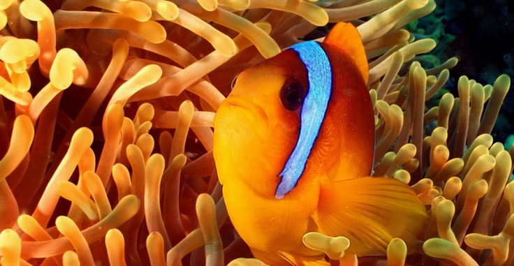 Bohóchal (Red Sea Anemonefish, Rotmeer Anemonenfisch, Amphiprion Bicinctus)