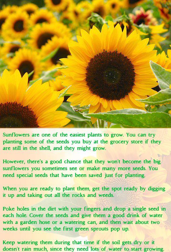 Sunflower Garden Ideas garden landscaping Growing Sunflowers Gardening