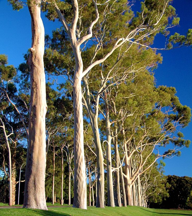 Ghost Gums, Kings Park, Perth, WA.