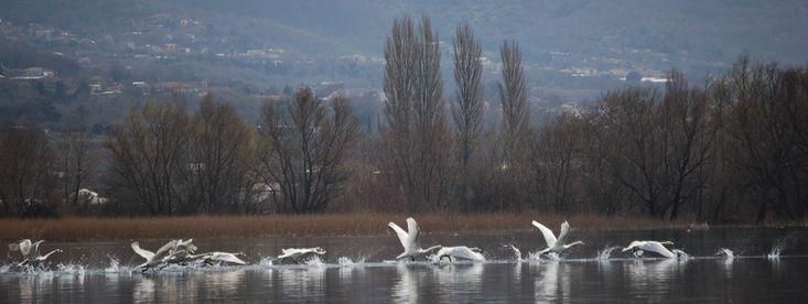 Μεσοχειμωνιάτικες Καταμετρήσεις Υδρόβιων Πουλιών στην Παμβώτιδα | Ελληνική Φύση