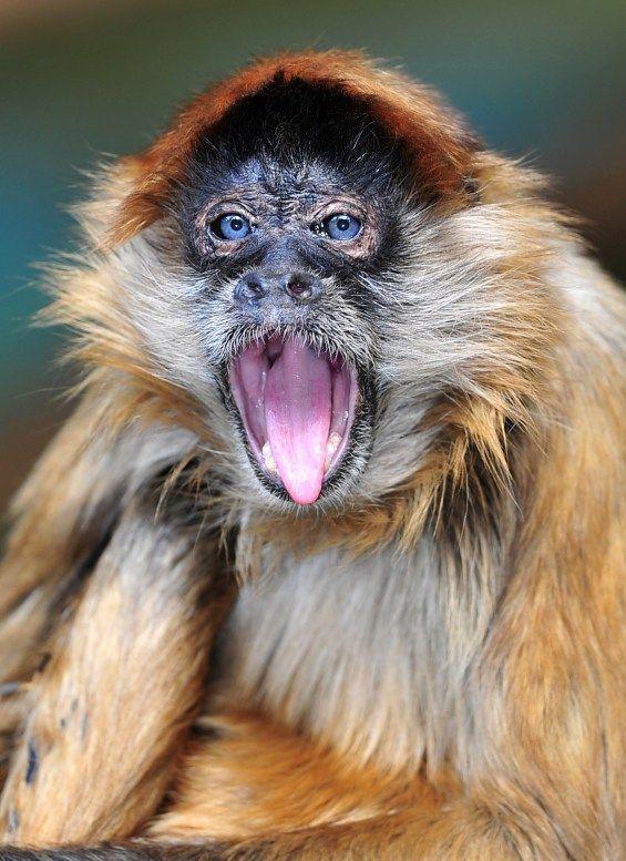 Viagens Panamá.  Azul macaco-aranha olhos Rare.  Parque Nacional Chagres, Colon.  Turismo Panamá.