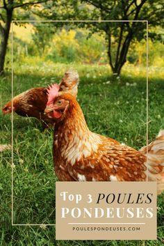 Les races de poules pondeuses   Guide gratuit pour élever des poules dans son jardin