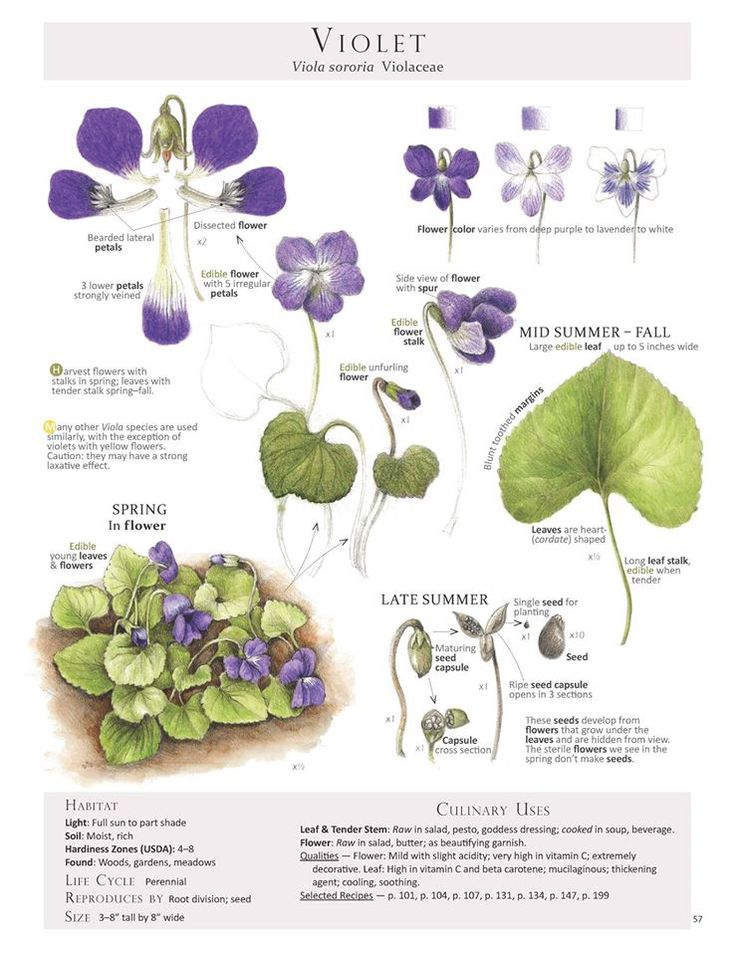 Violet (Viola sororia) Foraging & Feasting: A Field Guide and Wild Food Cookbook by Dina Falconi; illustrated by Wendy Hollender.