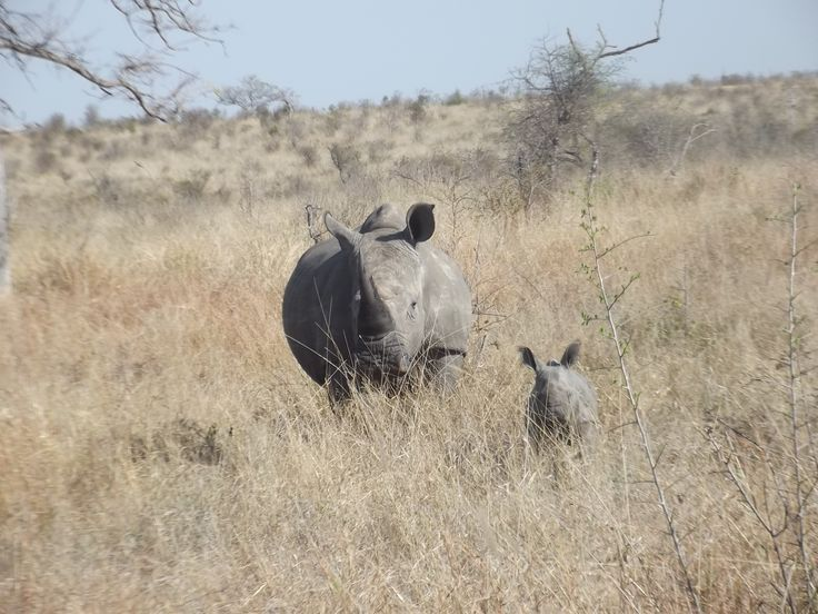 www.sunsafaris.com recent sightings of a #mother #white #rhino and her #baby #rhino #cub at #umkumbe #safari #lodge #kruger #wildlife #sabi #sands #game #reserve   Copyright: images taken by Zeena Ponto
