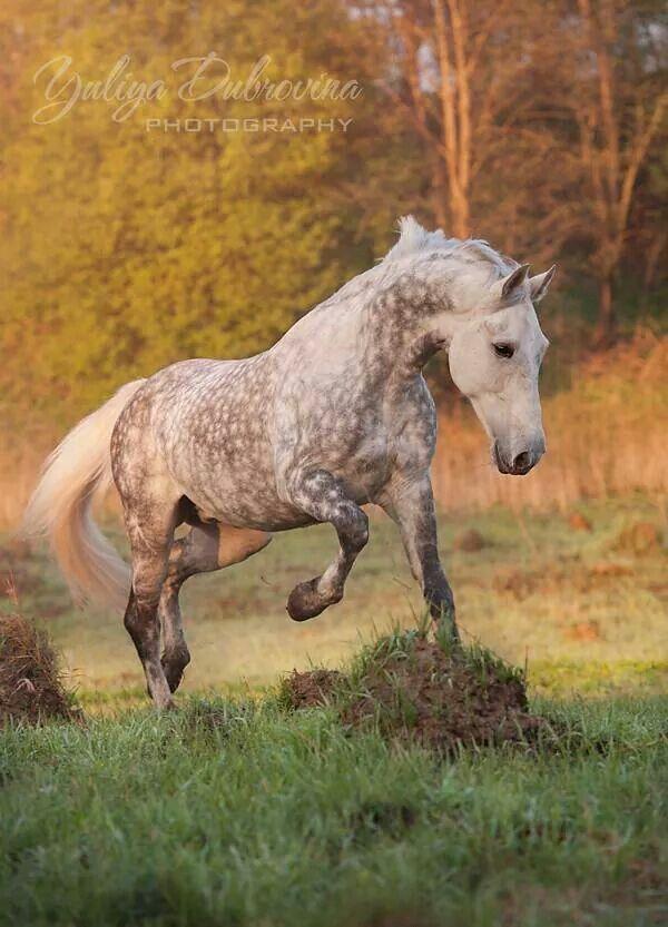 My fav horse! Dapple gray