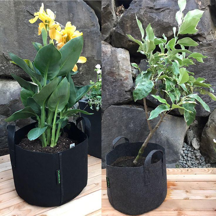 Mun puutarha ☀️#flowerworld #summertime #tropicalyellowcanna #eurekalemontree #viola #kotisäkki #vilikkala #basil