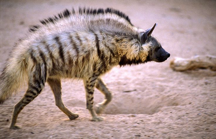 The Striped Hyena. This small hyena species roams the lands of North and East Africa, the Middle East and the Indian subcontinent. Though a nocturnal scavenger by trade, the Striped Hyena has been known to hunt small prey. Today, fewer than 10,000 Striped Hyenas exist, placing  them in the 'threatened' category.