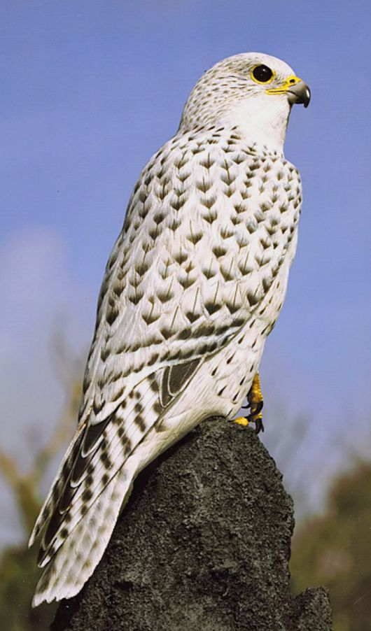 Gyrfalcon.. Its plumage varies with location, with birds being coloured from all-white to dark brown.