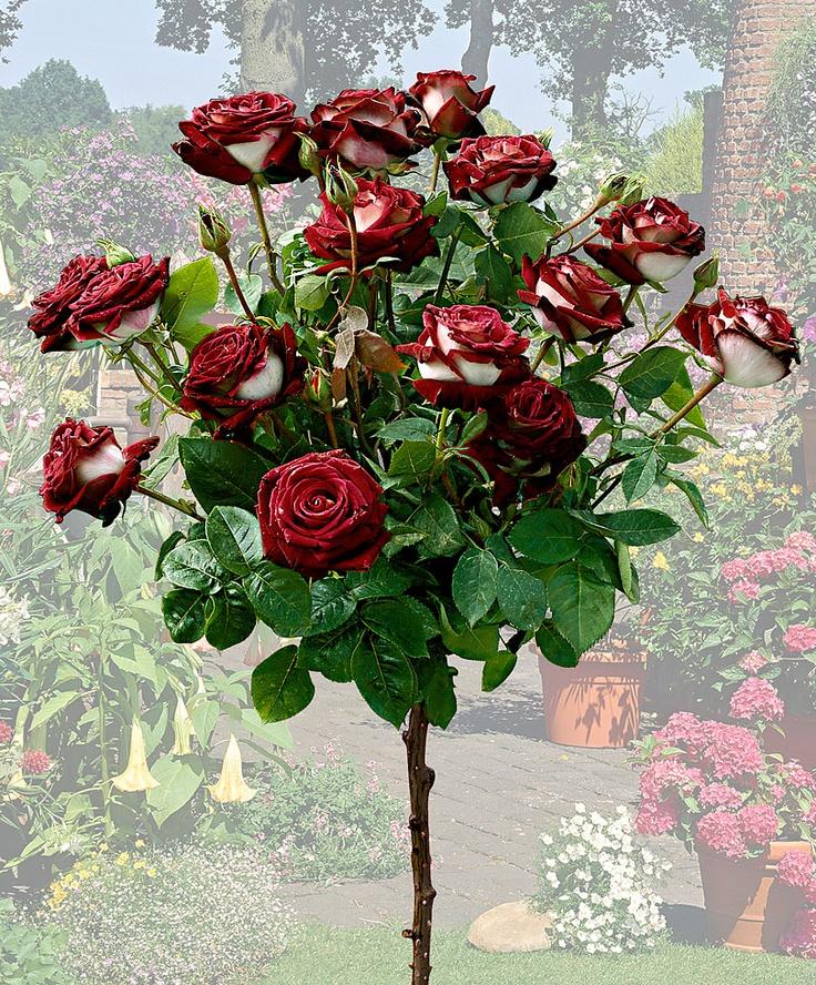 Standard Rose 'Osiria'