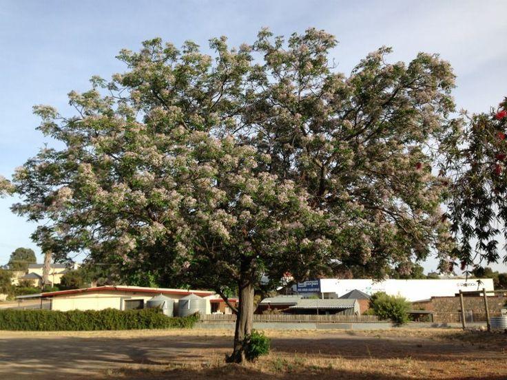 Melia Azedarach White Cedar Australian Native Deciduous Tree 6 To 12 Metres In Height With A Canopy Of 6 To 8 Metres Shade Trees Backyard Trees White Cedar