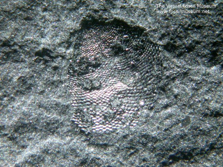 Micromitra burgessensis Burgess Shale Brachiopod