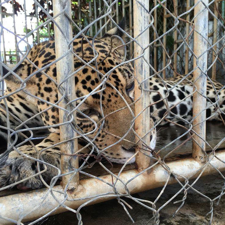 Jaguar, Guyana