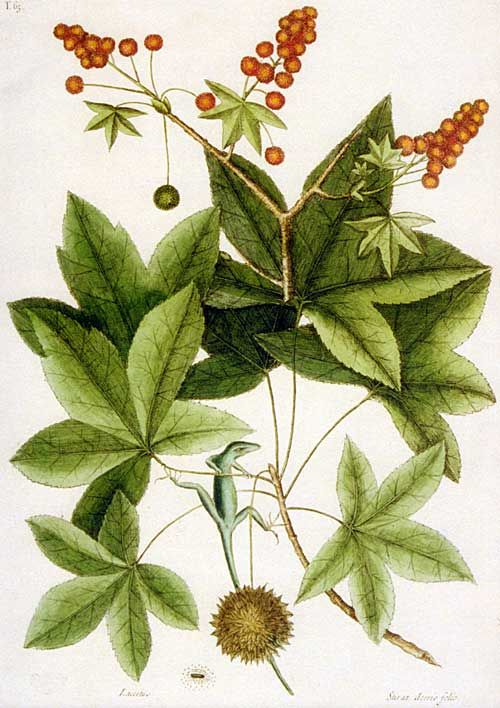 The Liquidambar styraciflua, the sweet gum tree, is shown with the green lizard of Carolina in this illustration by Mark Catesby.
