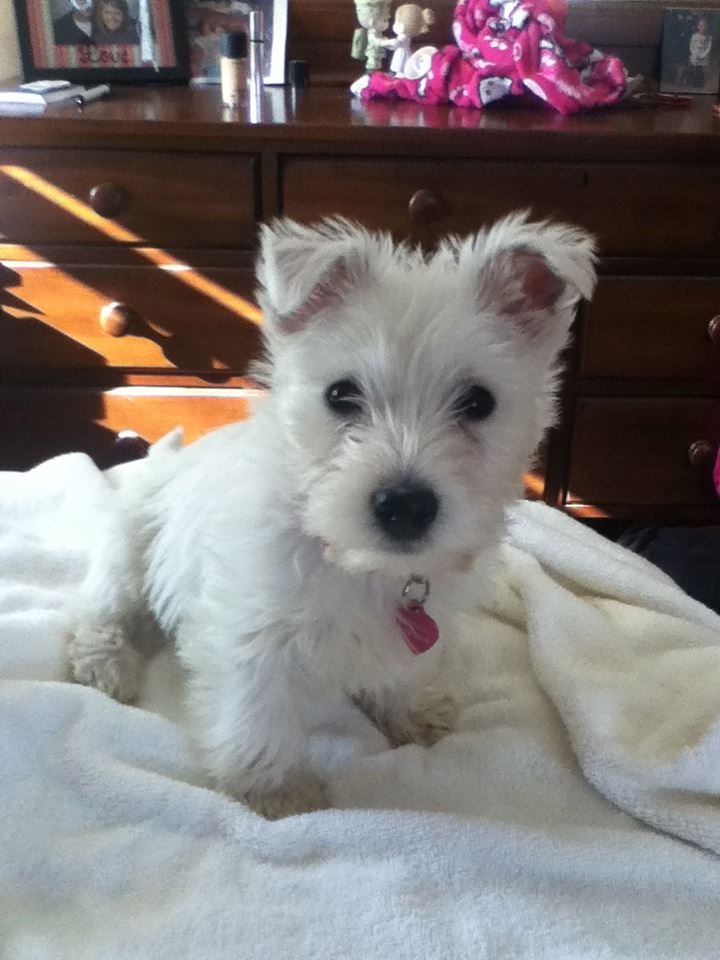 westie puppy. so cute. the only type of small dog I would ever consider.
