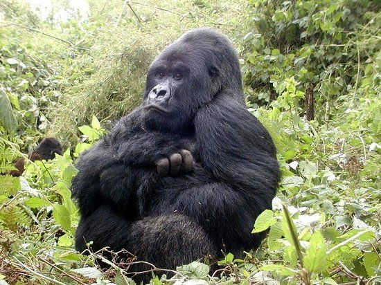 Trek Gorillas Twice in Rwanda with Katona Tours and Travel at Low rates