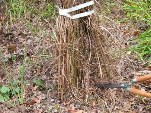 Cutting back ornamental grasses try this easy no mess for Easy ornamental grasses