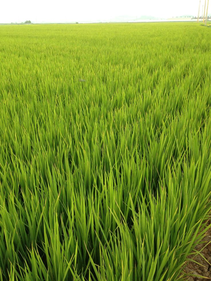 오도미 | 지구상의 쌀!