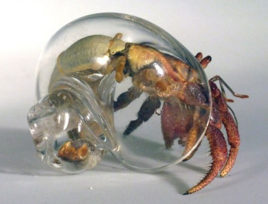 "Artist Robert DuGrenier has been making glass hermit crab shells and ""crabitats"" (large hand blown tanks) for hermit crabs to live in and for more than 15 years."