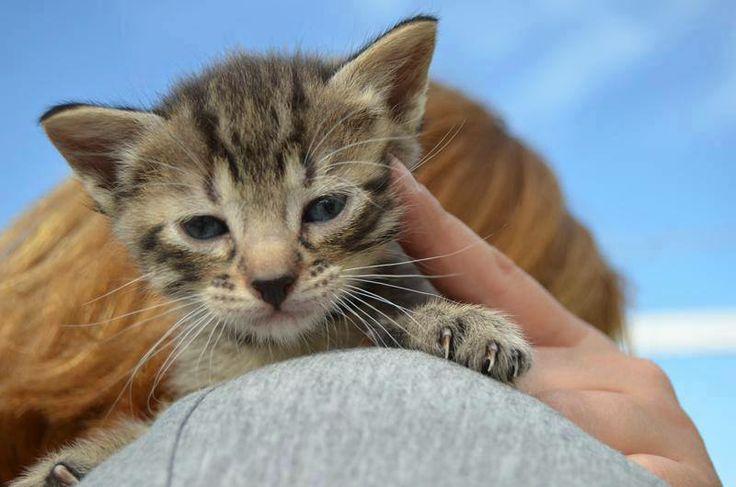 Urko, gato en adopción en Madrid (España) cpa.torrejon@hoope.org