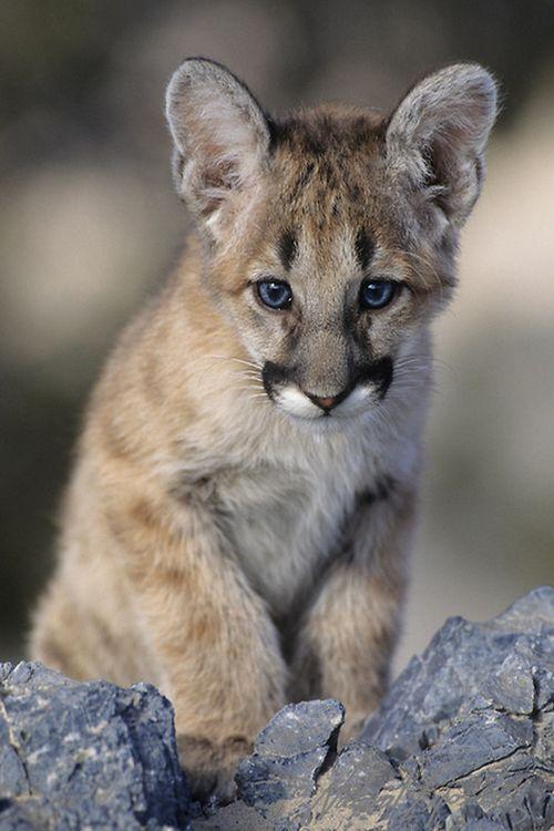 Mountain Lion Cub by Daniel J. Cox
