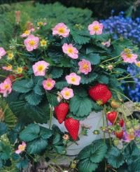 12 best fragaria images on pinterest f1 fruit and strawberries strawberry pikan is well suited for growing in the garden as well as in tubs the vigorous plant will produce many flowers and some runners mightylinksfo