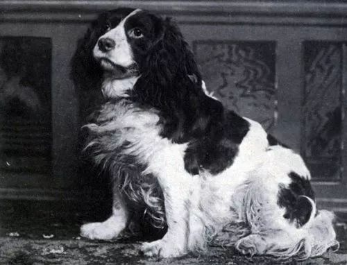 Dash-II-Norfolk-Spaniel1