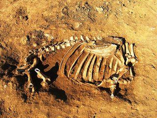 Tijdens archeologische werkzaamheden aan een Angelsaksische begraafplaats in de provincie Cambridgeshire in Groot-Brittannië is een graf aangetroffen waarin een vrouw samen met een koe ligt begraven. De resten werden aangetroffen in Oakington door studenten van de Manchester Metropolitan Universiteit en de Universiteit van Centaal Lancaster. Studenten en archeologen noemen het een bizarre en unieke vondst.