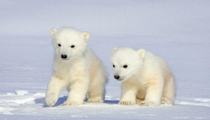 Baby White Bears