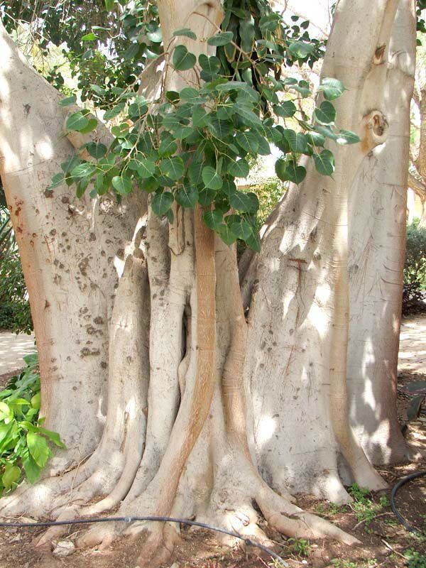Ficus religiosa, the Bodhi Tree.