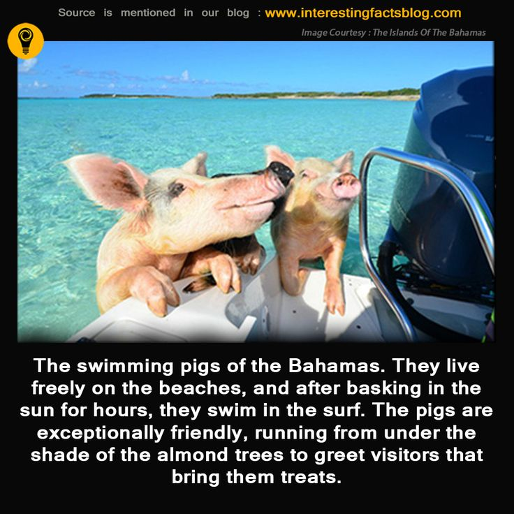 The Bahamas Swimming Pigs Interesting Facts